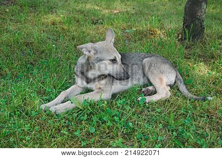 Puppy Mongrel Lying On Grass
