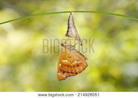 Isolated Emerged From Chrysalis Of Brown Prince Butterfly Hanging On Twig