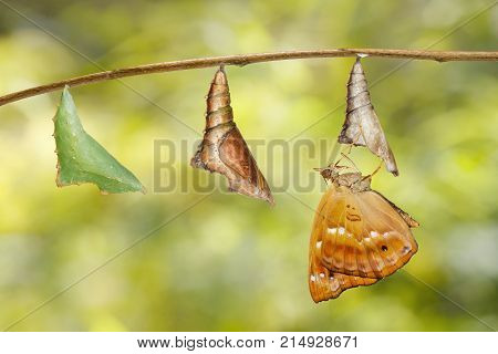 Emerged From Chrysalis Of Brown Prince Butterfly Hanging On Twig