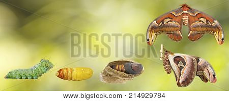 Tranfsformation From Caterpillar To Butterfly Of Male Atlas Moth ( Atlas; Attacus )