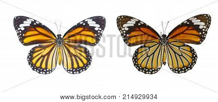 Isolated Dorsal And Belly View Of Common Tiger Butterfly ( Danaus Genutia ) On White