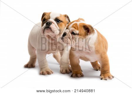 Two English bulldog puppies playing in front of a white background