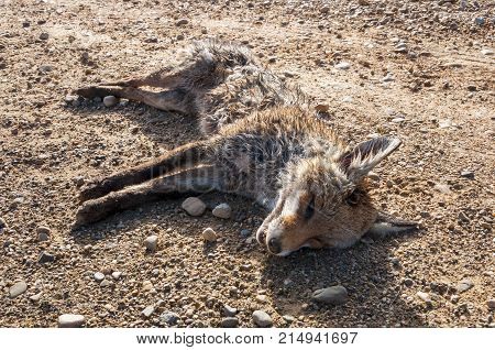 Dead Red fox, Vulpes vulpes, on a dirt road in the plain of the River Esla in Leon Province Spain
