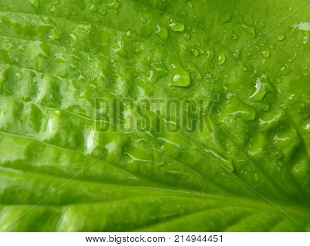 Close Up Macro Detail Of Wet Green Hosta Leaf