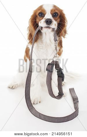 Dog with leather leash waiting to go walkies. Walking leash with collar. Cute dog holding collar and leash. White background.