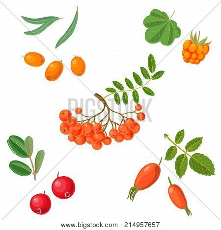 vector berries of cranberry, sea-buckthorn, cloudberry, mountain ash and wild rose, isolated at white background