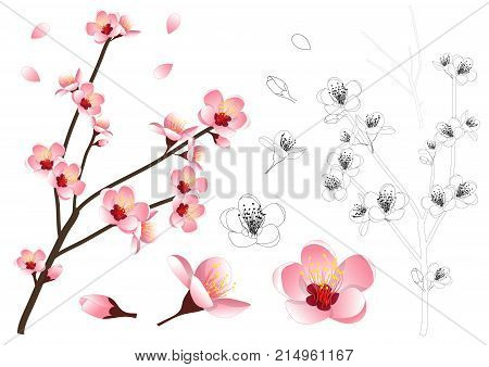Prunus persica - Peach Flower Blossom Outline. Vector Illustration. isolated on white Background.