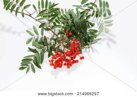 Rowan (Sorbus aucuparia) berries and leaves isolated on white background