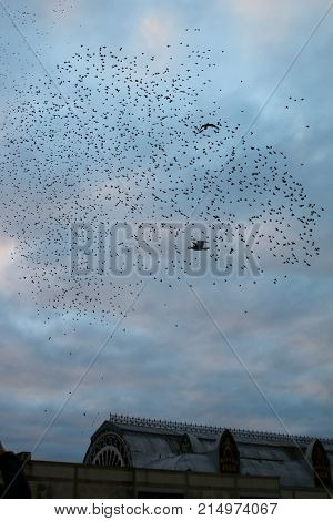 A flock or murmuration of Starlings gathering above their roost in an old victorian pier in Aberystwyth, Wales