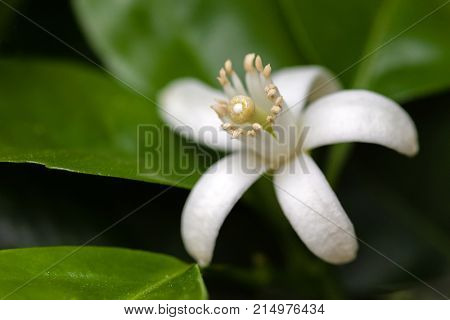 White Orange Blossom among leaves. Extreme close-up macro with a view of the flower anatomy. Shallow depth of field.