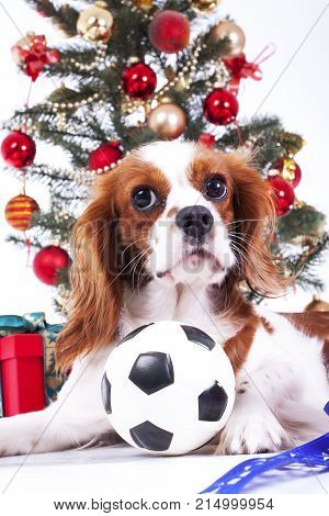 Christmas dog celebrate christmas with tree on studio. Christmas bauble ornaments glass balls and cavalier king charles spaniel dog puppy studio photo. Cute christmas animal pet background.