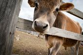 Young calf standing behind a wooden fence poster