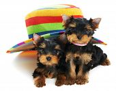 Two little Yorkshire Terrier (3 month) puppies dog under colorful hat isolated over white background poster