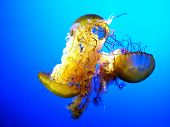 Three colorful jellyfish floating underwater with outstretched tentacles poster