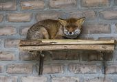 The red fox in the morning light lies in the henhouse. The fox hides and looks poster