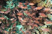 Shoal of crown squirrelfish under an overhang on a coral reef poster
