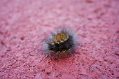 Little fuzzy caterpillar curled up to pose on the walkway. poster