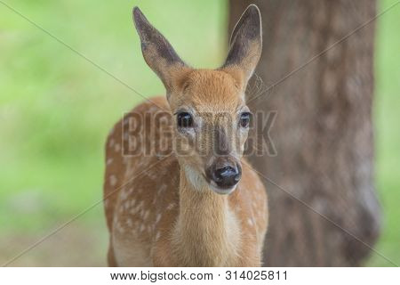 Young Deer, Cervidae, Standing On A Sunny Summer Afternoon