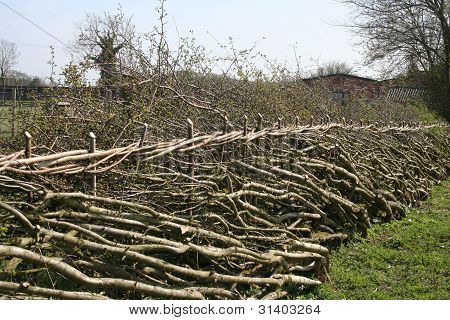 Traditional hedge laying in England