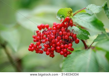 Red Elderberry On A Green Background Close-up. Sambucus Racemosa Berries In Summer In The Forest. Me
