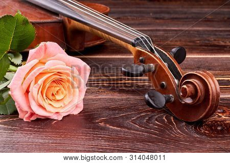 Pink Rose And Old Brown Violin. Peg Box And Scroll Of Scratched Violin. Vintage Violin Head And Beau