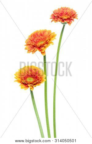 three Vertical orange gerbera flowers with long stem isolated on white background