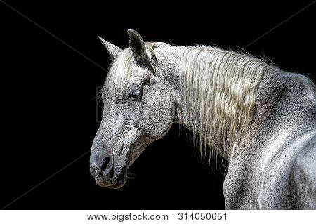 Side Profile Of A White Horse. A Beautiful Portraiture Of A White Horse Against A Dark Background Wi