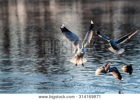 Sea Gull Morning Fly City Scape Cold Air Nature Winter Wild Life Survive