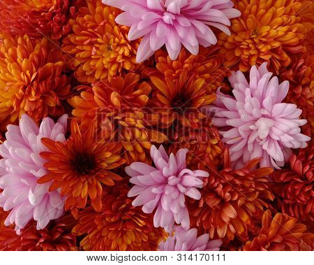 Beautiful Pink And Red Chrysanthemum Flowers In Full Bloom, Flowery Texture For Background. Autumn F