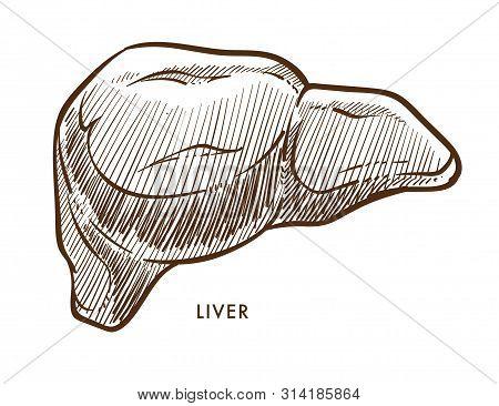 Liver Internal Organ Isolated Sketch Cirrhosis Or Hepatitis