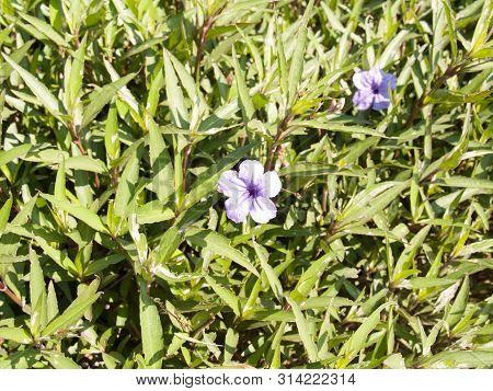 Ruellia Tuberosa Flower In The Garden With Blurred Background