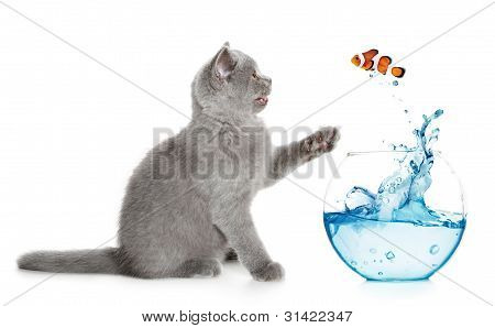 British Kitten Plays With A Small Fish