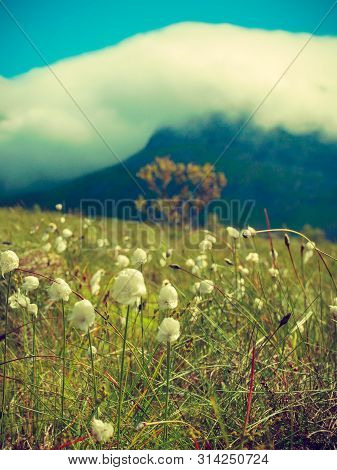 White Flowers And Mountains Covered With Clouds In Background. Gimsoya Island Landscape, Nordland Co