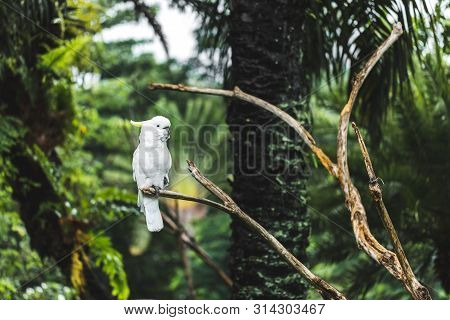 White Yellow-crested Cockatoo Cacatua Sulphurea Sitting On A Branch. Parrot Also Known As The Lesser