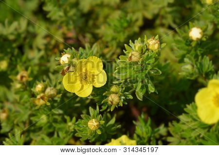 Shrubby Cinquefoil Sommerflor Yellow Flower - Latin Name - Potentilla Fruticosa Sommerflor