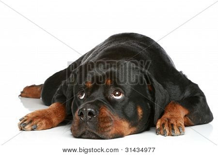 Rottweiler Lying On A White Background