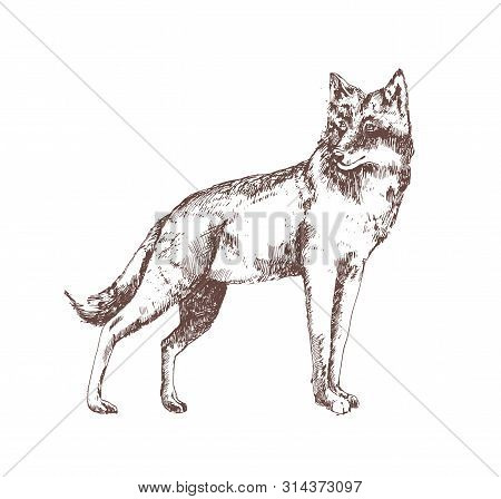 Wolf Hand Drawn With Contour Lines On White Background. Gorgeous Realistic Sketch Drawing Of Forest