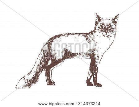 Red Fox Hand Drawn With Contour Lines On White Background. Beautiful Realistic Elegant Drawing Of Fo
