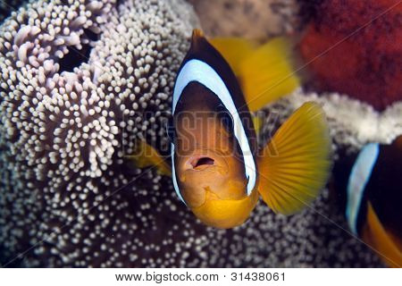 Anemonefish in a Haddon's anemone