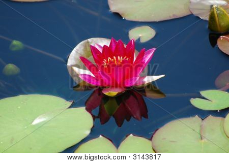 Pink Water Lily Reflection