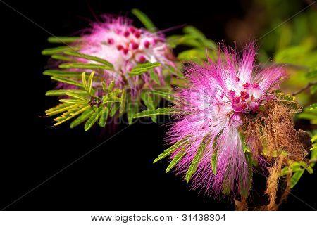 Pink Powderpuff