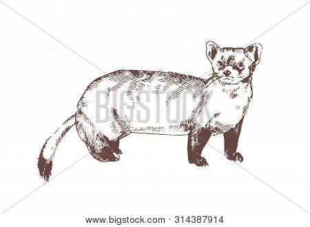 Pine Marten Hand Drawn With Contour Lines On White Background. Elegant Detailed Drawing Of Carnivoro