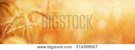 Golden Wheat Field In Late Summer With Bokeh For A Background