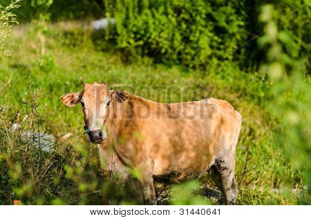 Brown cow on a farmland in Thailand poster