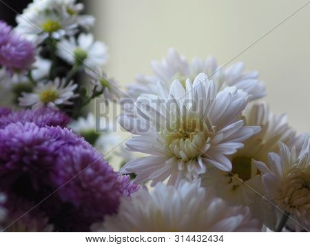 Violet And White Flower Petals Stacked Into Layers Name Gerbera Jamesonii ,compositae,gerbera,barber