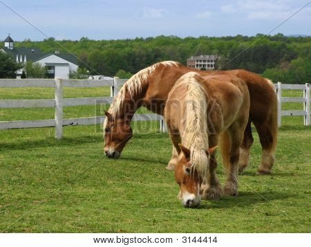 Two horses grazing in a pasture in USA. poster