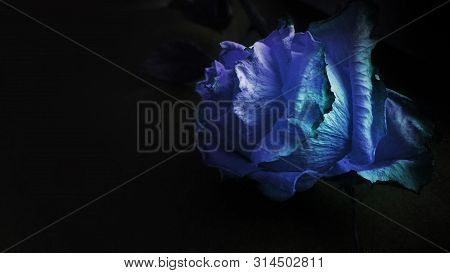 Fading dry blue rose withered on black background poster