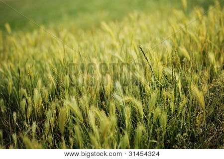 Wheat Field Natural