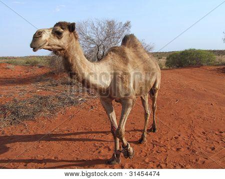 Central Australian Camel