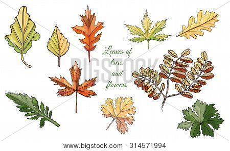 Set With Autumn Color  Leaves Of Different  Trees And Flowers Isolated On White  Background. Hand Dr